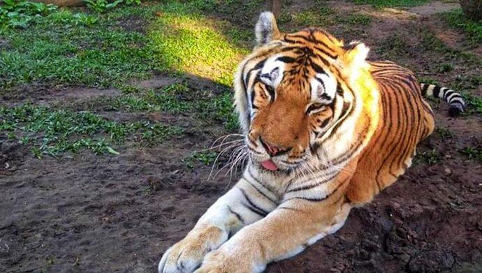morre-tigre-tom-zoo-curitba-970x550